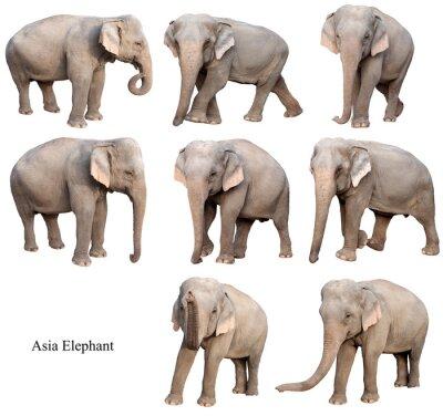Adesivo female asia elephant isolated