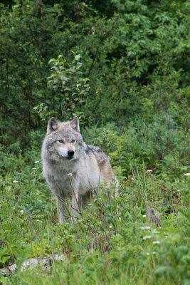Adesivo Femmina lupo grigio in un prato aperto vicino a Golden, British Columbia