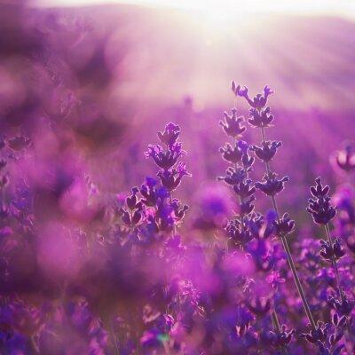 Adesivo field lavender flowers