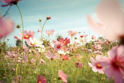Adesivo Fiore cosmo fiore nel giardino