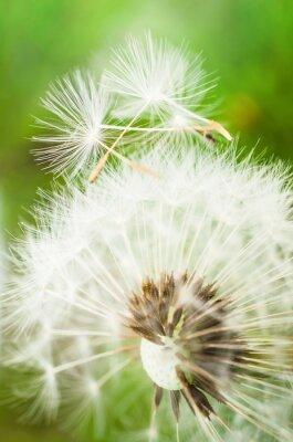 Adesivo fiore di tarassaco con due semi in cima