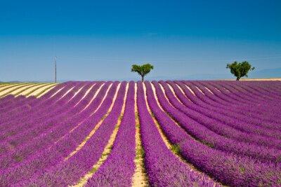 Adesivo fiori di lavanda in fiore campi profumati