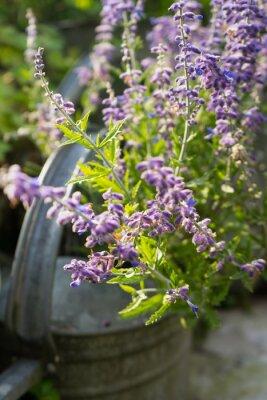 Adesivo Fiori di lavanda in giardino Annaffiatoio