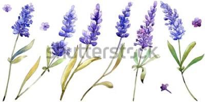 Adesivo Fiori di lavanda viola dell'acquerello. Fiore botanico floreale. Elemento illustrazione isolato. Wildflower Aquarelle per sfondo, trama, motivo avvolgente, cornice o bordo.