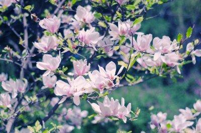 Adesivo fiori di magnolia rosa come un bellissimo sfondo floreale di primavera (shallow DOF, stile retrò)