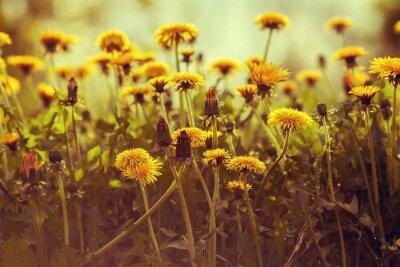 Adesivo fiori di tarassaco al tramonto contro il cielo. correzione del colore Vintage