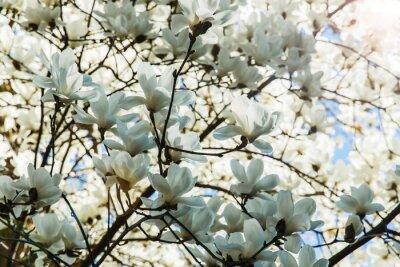 Adesivo Fioritura bianco di magnolia fiori in primavera
