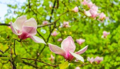Adesivo fioritura rosa fiore di magnolia
