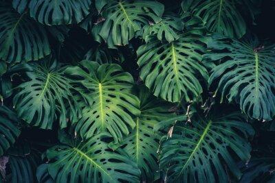Adesivo Foglie di Monstera Philodendron - pianta forestale tropicale