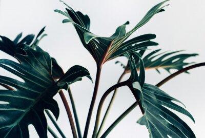 Adesivo Foglie tropicali esotiche di xanadu su fondo bianco Concetti della natura