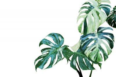 Adesivo Foglie variegate di Monstera, pianta spaccata del filodendro della foglia isolata su fondo bianco