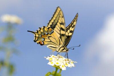 Adesivo Forcuta, nutrendosi di Lantana fiori. Lenta velocità dell'otturatore per catturare ali svolazzanti.