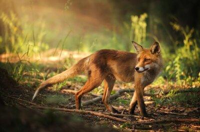 Adesivo Fox on the estate foresta