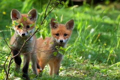 Adesivo Foxes in the wild