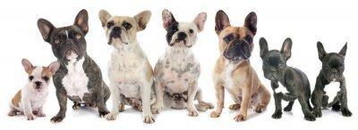Adesivo Francese Bulldogs
