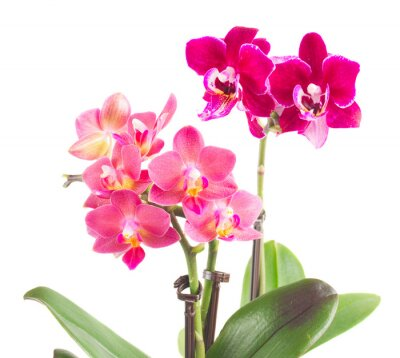 Adesivo Fresco rosa orchidea in vaso