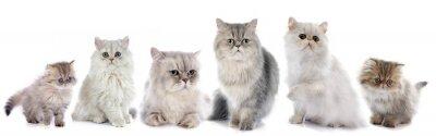 Adesivo gatti persiani famiglia