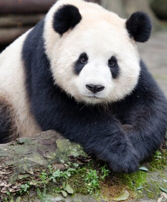 Adesivo Giant Panda in posa per la macchina fotografica, Chengdu, Sichuan, Cina