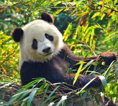 Adesivo Gigante Hungry panda bear mangiare bambù