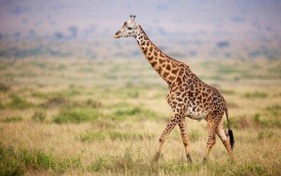 Adesivo Giraffa camminare in Kenya