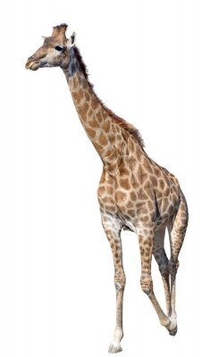Adesivo Giraffa isolato su sfondo bianco