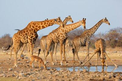 Adesivo Giraffa mandria (Giraffa Giraffa) in una pozza d'acqua, Etosha National Park, Namibia.