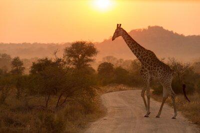 Adesivo Giraffe Ad Alba Kruger National Park