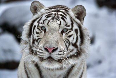 Adesivo Glamour ritratto di un giovane tigre bianca del Bengala