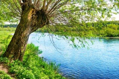 Adesivo Grande vecchio albero sulla riva del fiume