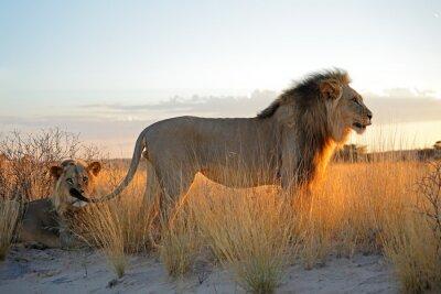Adesivo Grandi leoni africani maschi (Panthera leo) nella luce del mattino, deserto del Kalahari, Sud Africa.
