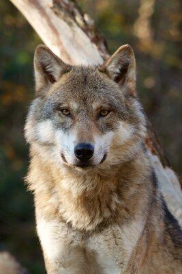 Adesivo Grey Wolf - Canis Lupus