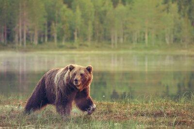 Adesivo Grosso maschio camminare orso nella palude al tramonto