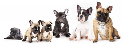 Adesivo Gruppo di francese Bulldogs tutte le età, di fronte a sfondo bianco