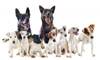 Adesivo gruppo di jack russel terrier e malinois