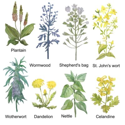Adesivo Hand-drawn watercolor medicinal forest and meadow herbs. Plantain, wormwood, shepherd's bag, St. John's wort, motherwort, dandelion, nettle and celandine isolated on white background.