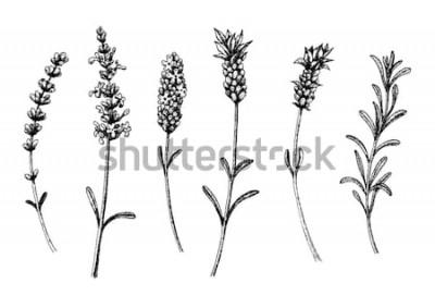 Adesivo I fiori di lavanda selvatici e cultivar. Set floreale vintage. Schizzo disegnato a mano di inchiostro. Illustrazione vettoriale