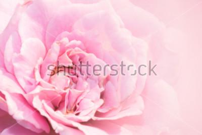 Adesivo Il fiore della rosa di rosa su fondo rosa con profondità di campo bassa e mette a fuoco il centro del fiore di rosa. Bella rosa rosa in giardino. macro rosa rosa.
