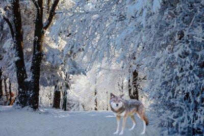 Adesivo Il magnifico lupo bianco polare è venuto per la caccia