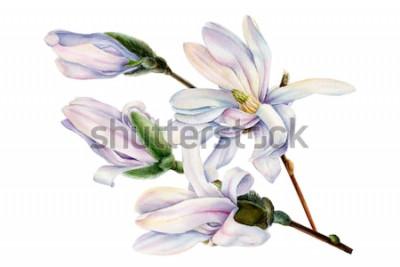 Adesivo il ramo della magnolia di primavera fiorisce su un fondo bianco isolato, l'illustrazione dell'acquerello, pittura botanica