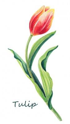 Adesivo Illustrazione floreale dell'acquerello di bello un tulipano sui precedenti bianchi. Cartolina d'auguri sveglia. Fiore rosso, giallo, arancio e foglie verdi della sorgente. Carta d'auguri per il giorno