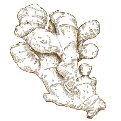 Adesivo illustrazione incisione di radice di zenzero