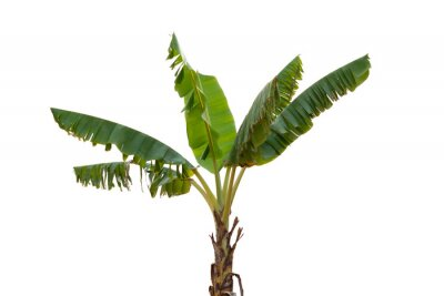 Adesivo Isolated banana tree on white background.