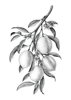 Adesivo Isolato d'annata in bianco e nero di clipart dell'illustrazione del ramo del limone su fondo bianco