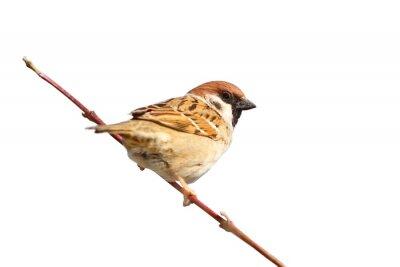 Adesivo isolato maschio passero sul ramoscello