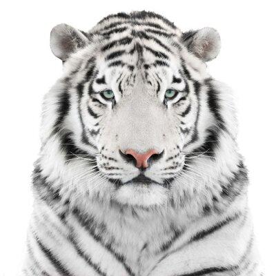 Adesivo Isolato tigre bianca