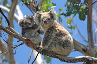 Adesivo Koala selvatici lungo la Great Ocean Road, Victoria, Australia