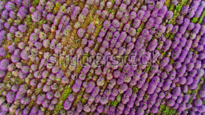Adesivo Lavender field aerial view. Top view.