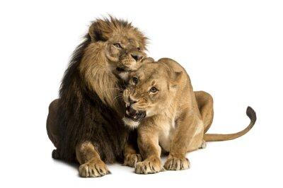 Adesivo Leone e coccole leonessa, mentendo, Panthera leo, isolato