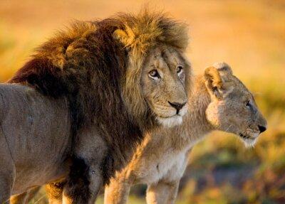 Adesivo Leone e leonessa nella savana. Zambia.