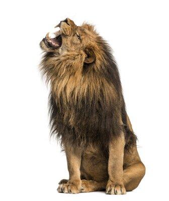 Adesivo Leone ruggente, seduta, Panthera Leo, 10 anni, isolato